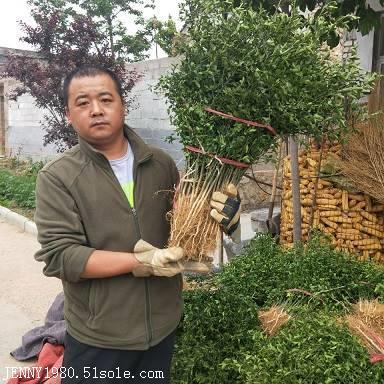 枸橘苗基地,枸橘树苗,地径0.4厘米枸橘苗