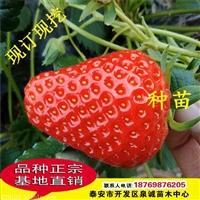 红颜草莓苗培育技术
