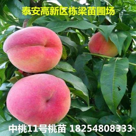 新品种桃树苗白如玉桃苗