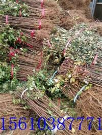 大红袍花椒苗基地  一亩地种植多少花椒苗  大红袍花椒苗价格供应