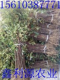 花椒苗  大量批发花椒苗  优质花椒苗批发价格