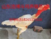 越南斗鸡专卖店,越南斗鸡价格