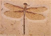 国内目前昆虫化石多少钱