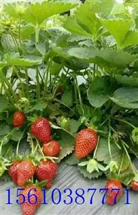 草莓苗基地草莓苗批发基地