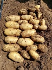 2018坝上土豆