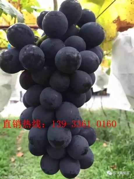 甜蜜蓝宝石葡萄苗