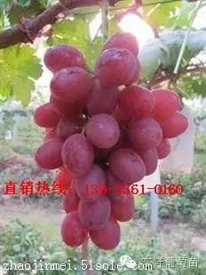 新品种阳光玫瑰葡萄苗多少钱
