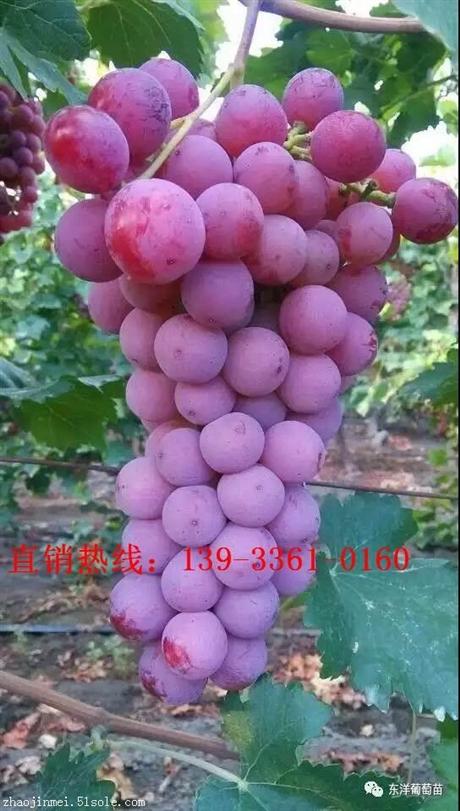 甜蜜蓝宝石葡萄苗,酒类葡萄苗