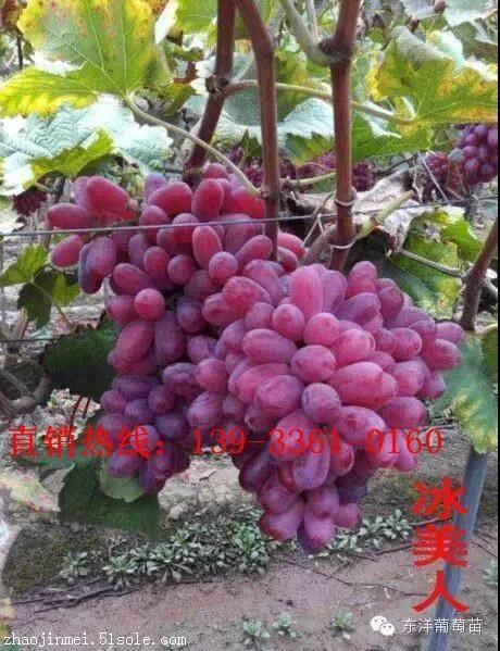 新品种蓝宝石葡萄苗