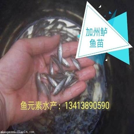 加州鲈鱼苗供应