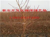 河南春美桃树苗基地
