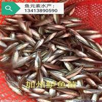 加州鲈鱼苗价格多少钱