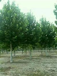 菏泽15公分法桐,种植基地面积广,低价直销