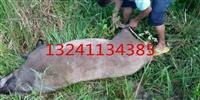 贵州电打野猪捕猎机报价