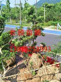苏州庭院别墅景观绿化工程,苏州造型无刺枸骨,鸿运果,景观树