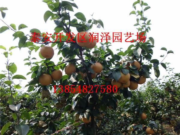 济南市天桥区梨树苗种植基地