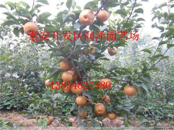 济南市历下区梨树苗一颗多少钱