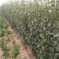 丰水梨树苗成活率高