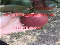 济南市市中区梨树苗木一颗多少钱