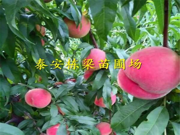 早熟春晓桃树苗批发春晓桃树苗多少钱一棵