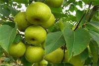 供应淳梨梨树苗、八年淳梨梨树苗价格