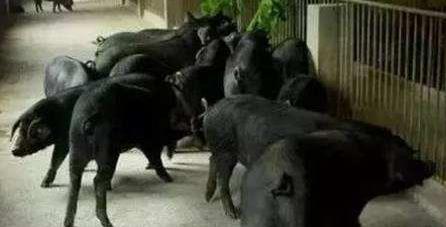 坝上黑毛猪 散养土猪