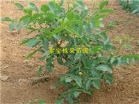 花椒苗种植方法