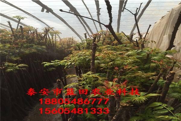 朔州红油香椿苗价格大红袍花椒苗