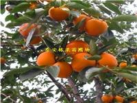 大红袍花椒苗3年苗价格