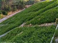 矿山生态复绿适合种植什么草种