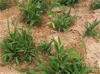 巖石壁復綠爬藤種子營養杯育苗快