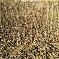 甘肃泰山红油板栗苗批发板栗苗基地板栗苗什么时间种植