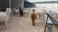 陕西省羊驼那里有卖