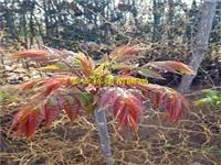 香椿苗种植方法品种纯度
