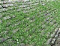 適合四川寒冷的冬天種植的草籽