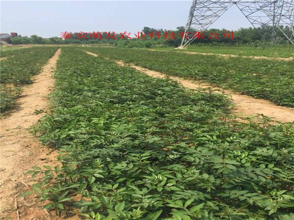 2年花椒苗基地   2年花椒苗多少钱