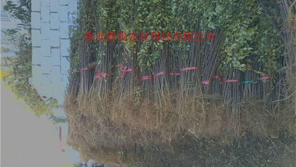 重庆花椒苗基地