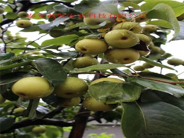 占地梨树苗基地   新品种梨树苗基地