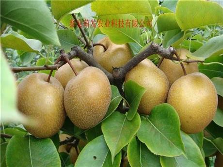 梨树苗基地价格