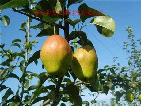黄冠梨树苗基地