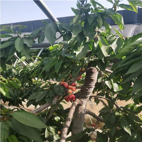 吉塞拉矮化樱桃树苗、吉塞拉矮化樱桃树苗价格