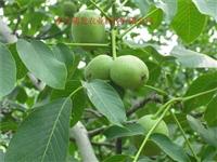 重慶川早核桃苗,重慶川早2號核桃苗種植