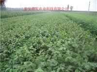 重慶川早2號核桃苗種植