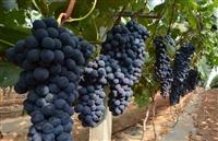 葡萄品种有哪些,葡萄树苗,早熟葡萄新品种,极早甜66葡萄新品种