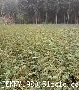 大红袍花椒苗价格 1米高大红袍花椒苗基地