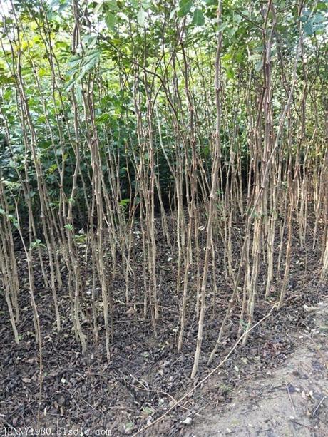 大红袍花椒苗基地,大红袍花椒苗怎样种植