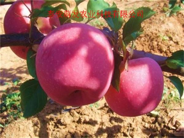 山东苹果苗批发