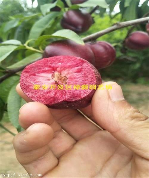 桃苗品种齐基地直供