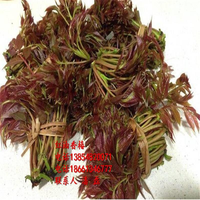 香椿苗、香椿树苗、香椿树苗新品种