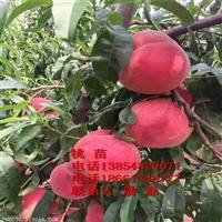 国庆红桃树苗/国庆红桃树苗品种/国庆红桃树苗价格